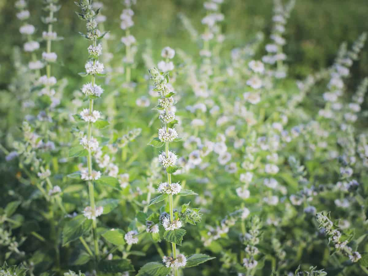 lemon balm is a perennial plant that mosquitoes hate because of its citrusy smell