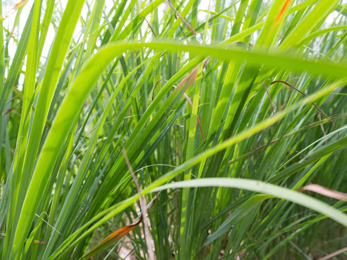 lemongrass is a perennial plant that easily repels mosquitoes and flies