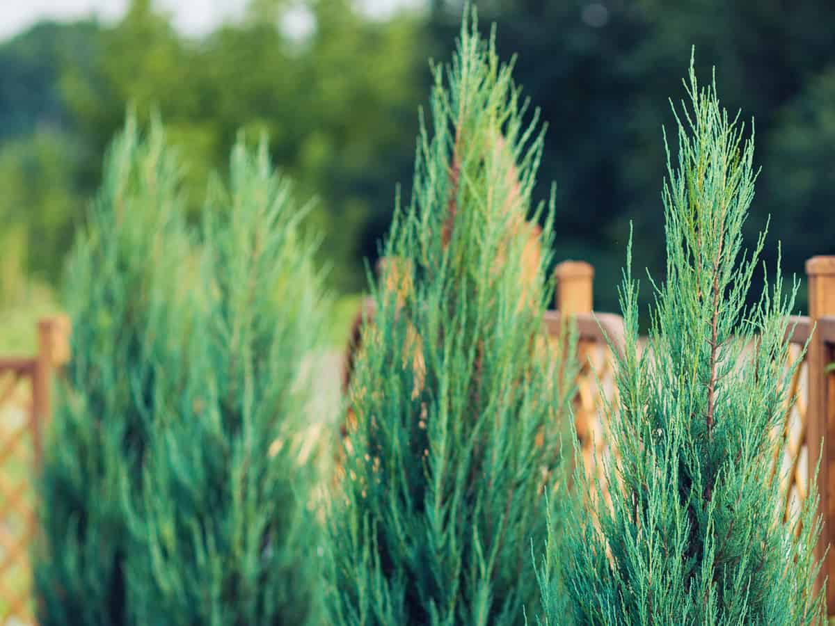 Leyland cypress forms an almost instant privacy hedge since it grows 3-5 feet a year