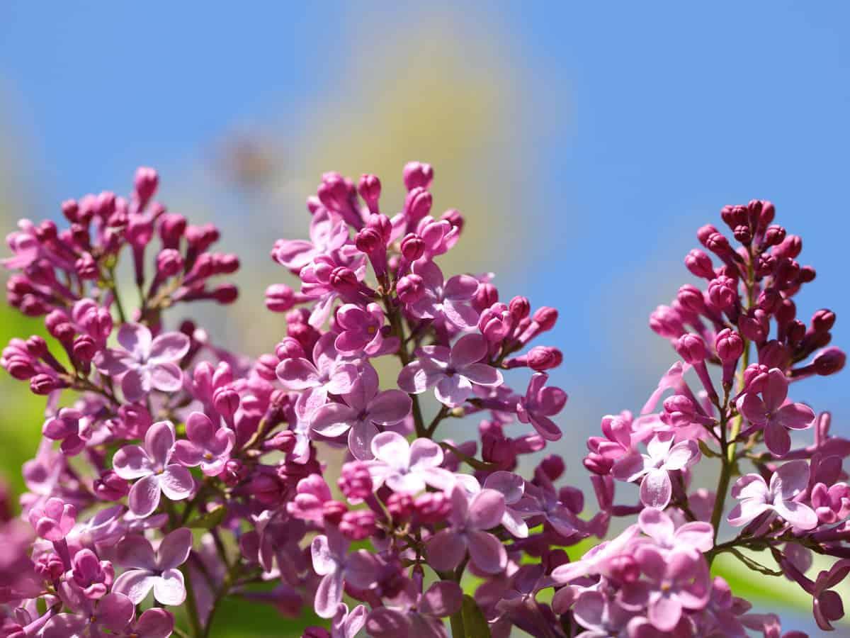 the sense & sensibility lilac bush smells heavenly