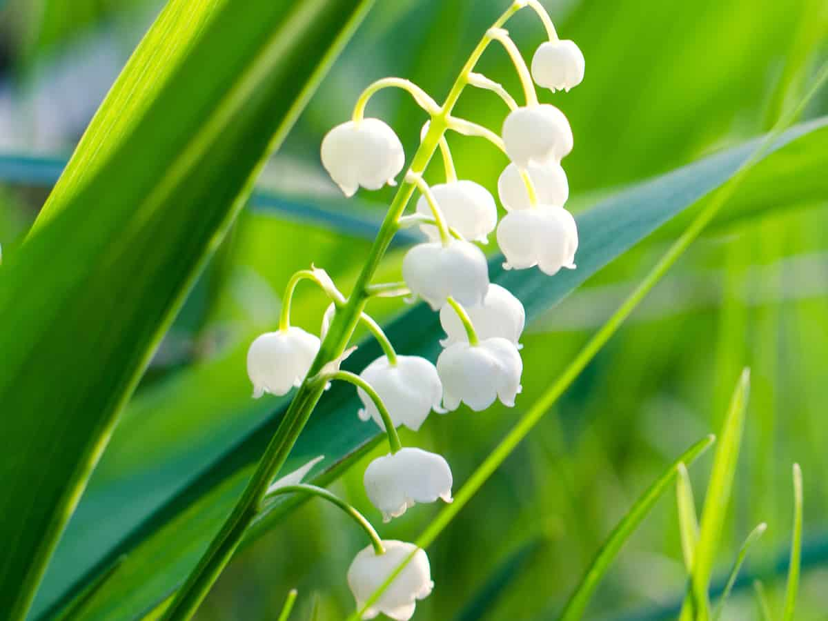 lily of the valley has unique bell-shaped flowers