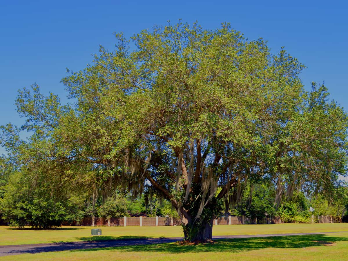 live oak is a fast growing shade tree that lasts for years