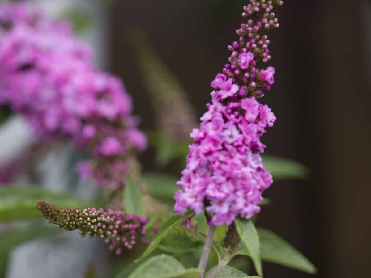 lo and behold butterfly bush offers a medium-height privacy hedge