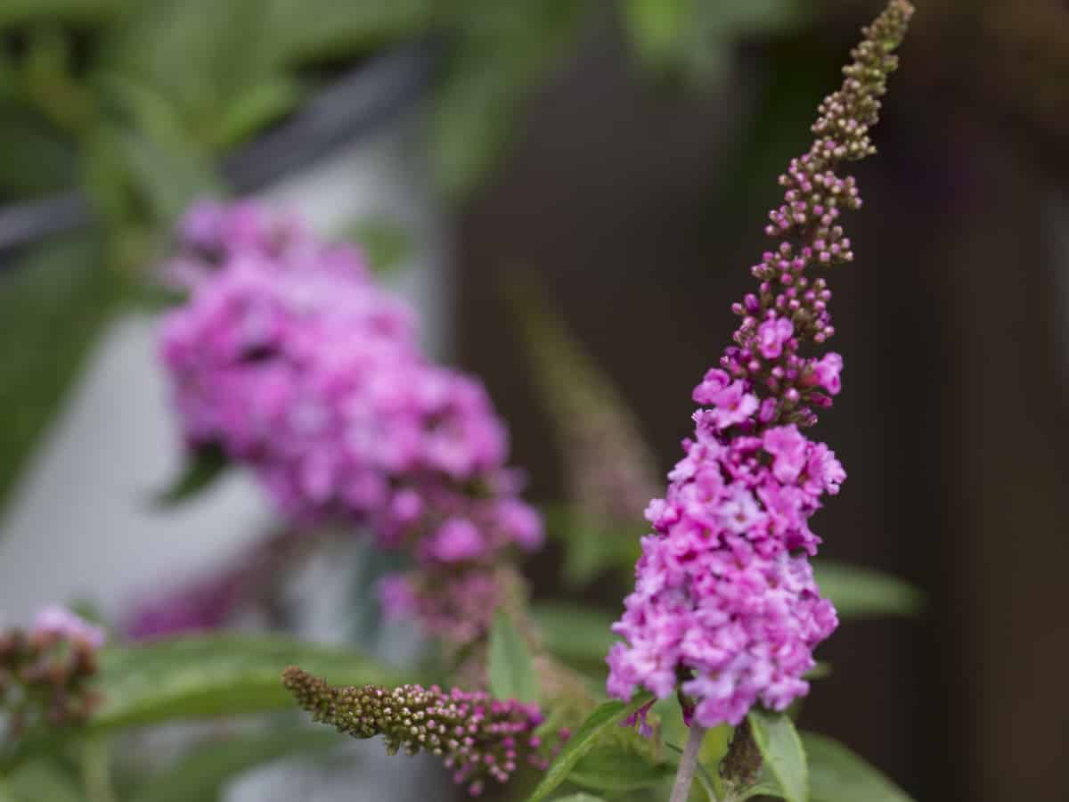 lo and behold butterfly bush is a beautiful dwarf shrub for landscaping a small garden