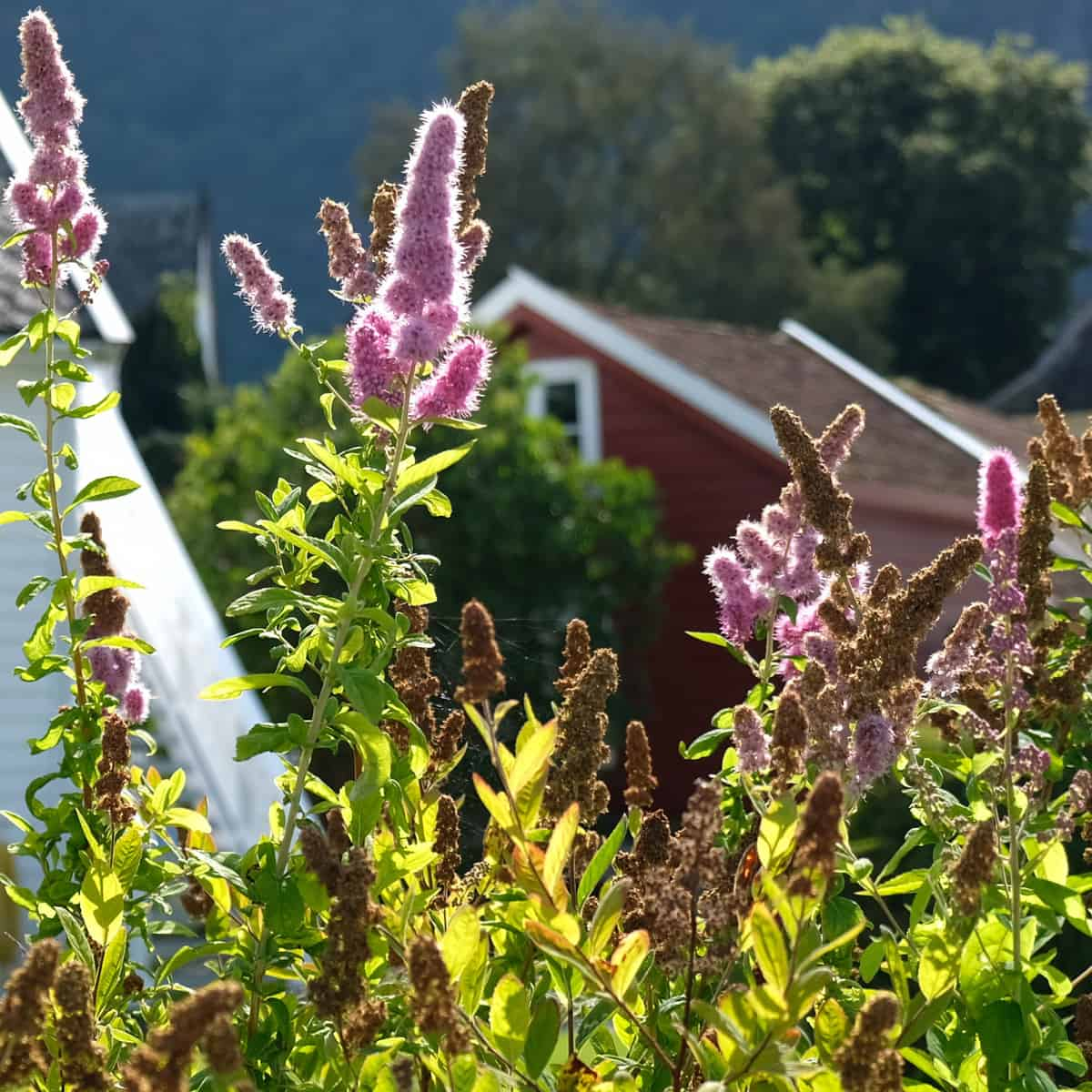 lo & behold butterfly bush repels deer but attracts butterflies