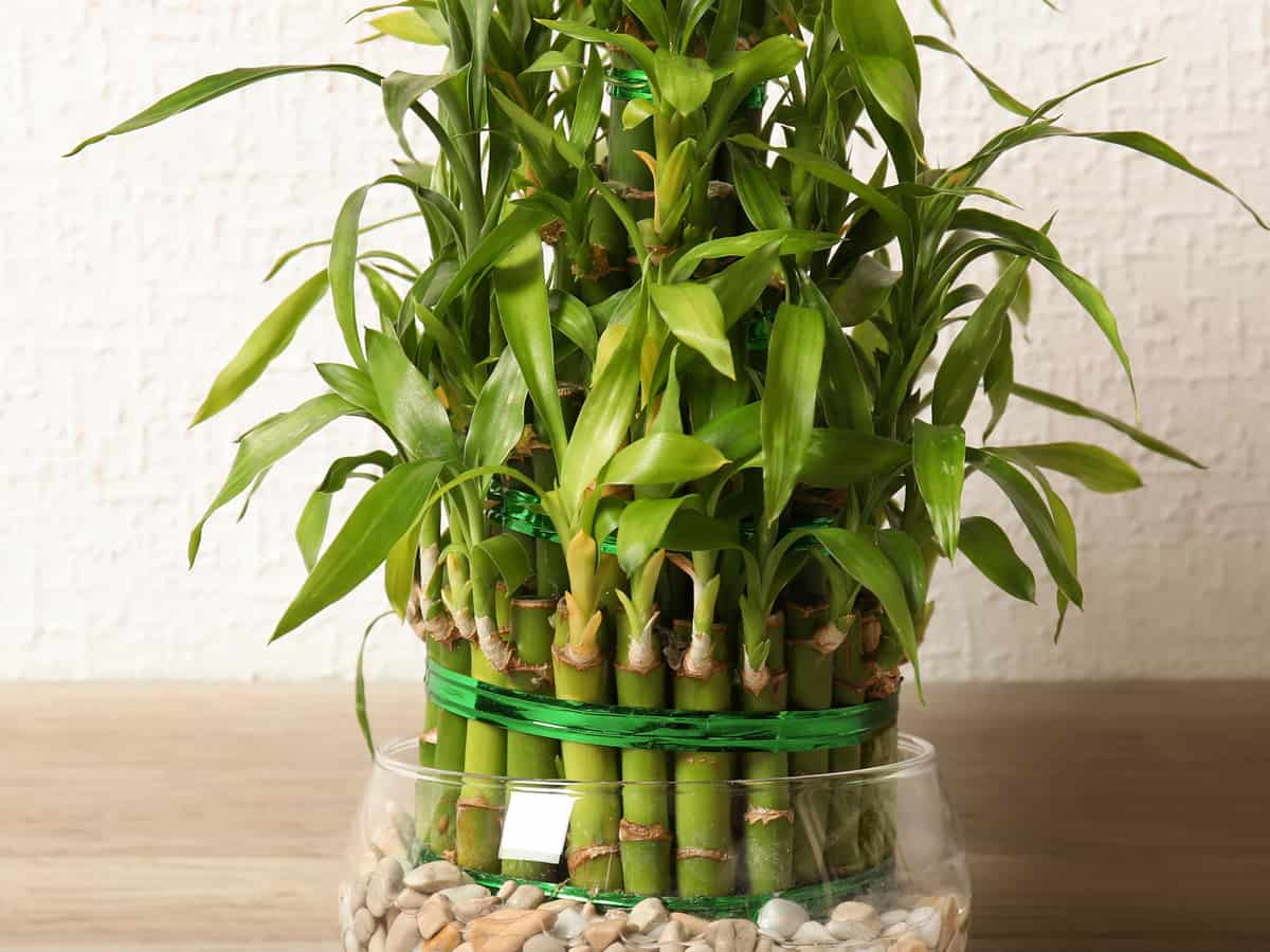 lucky bamboo grows in water rather than soil