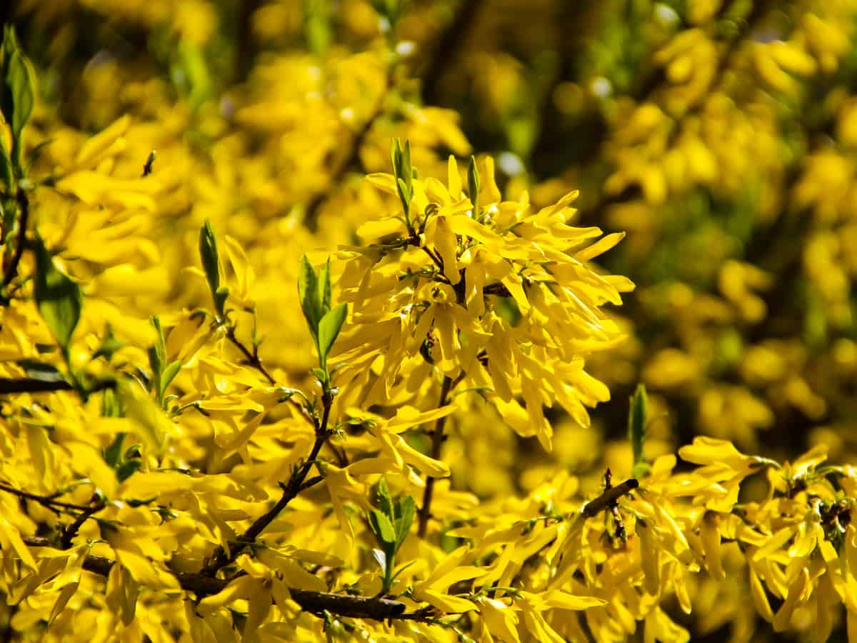 Lynwood gold forsythia blooms in early spring