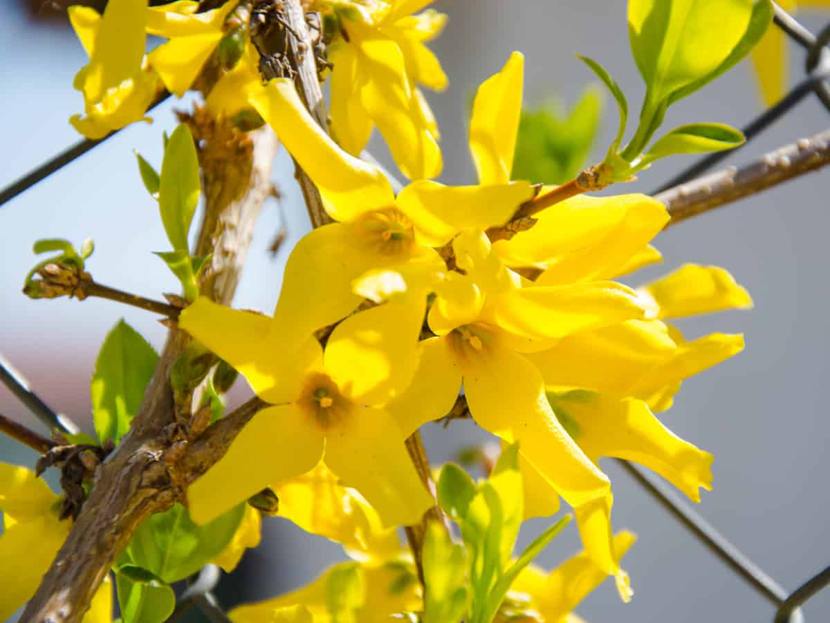 Lynwood gold forsythia is the perfect addition to a beautiful garden