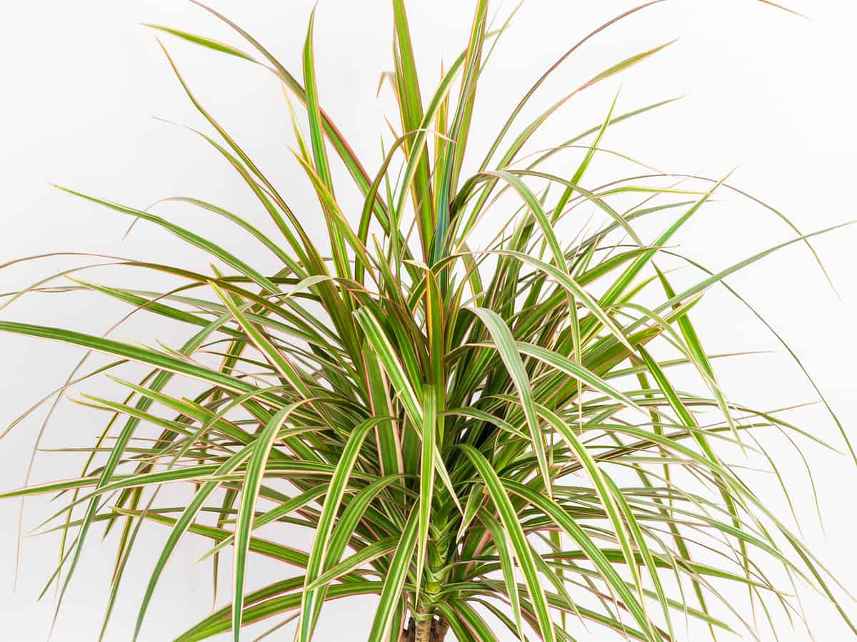 Madagascar dragon tree is safe for all pets