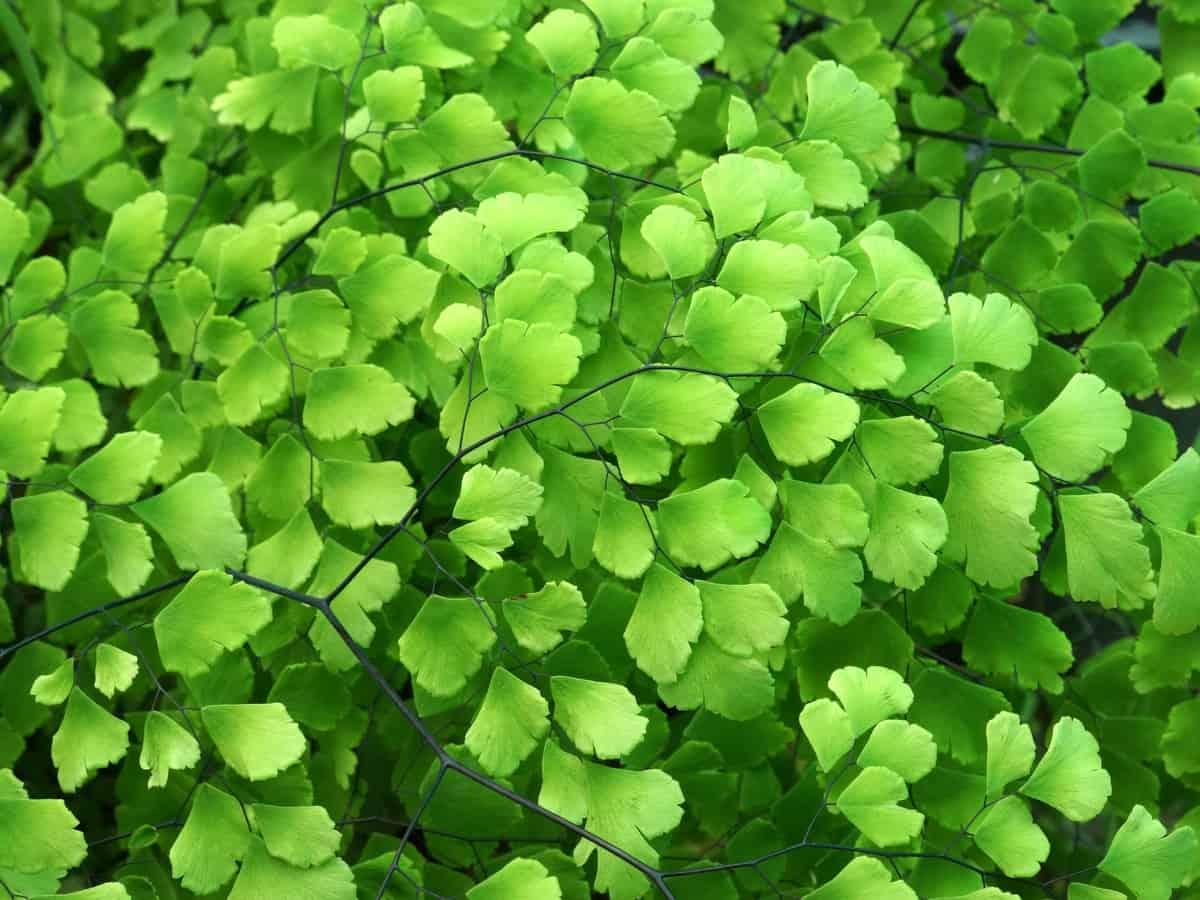 maidenhair fern is a premium low light indoor plant