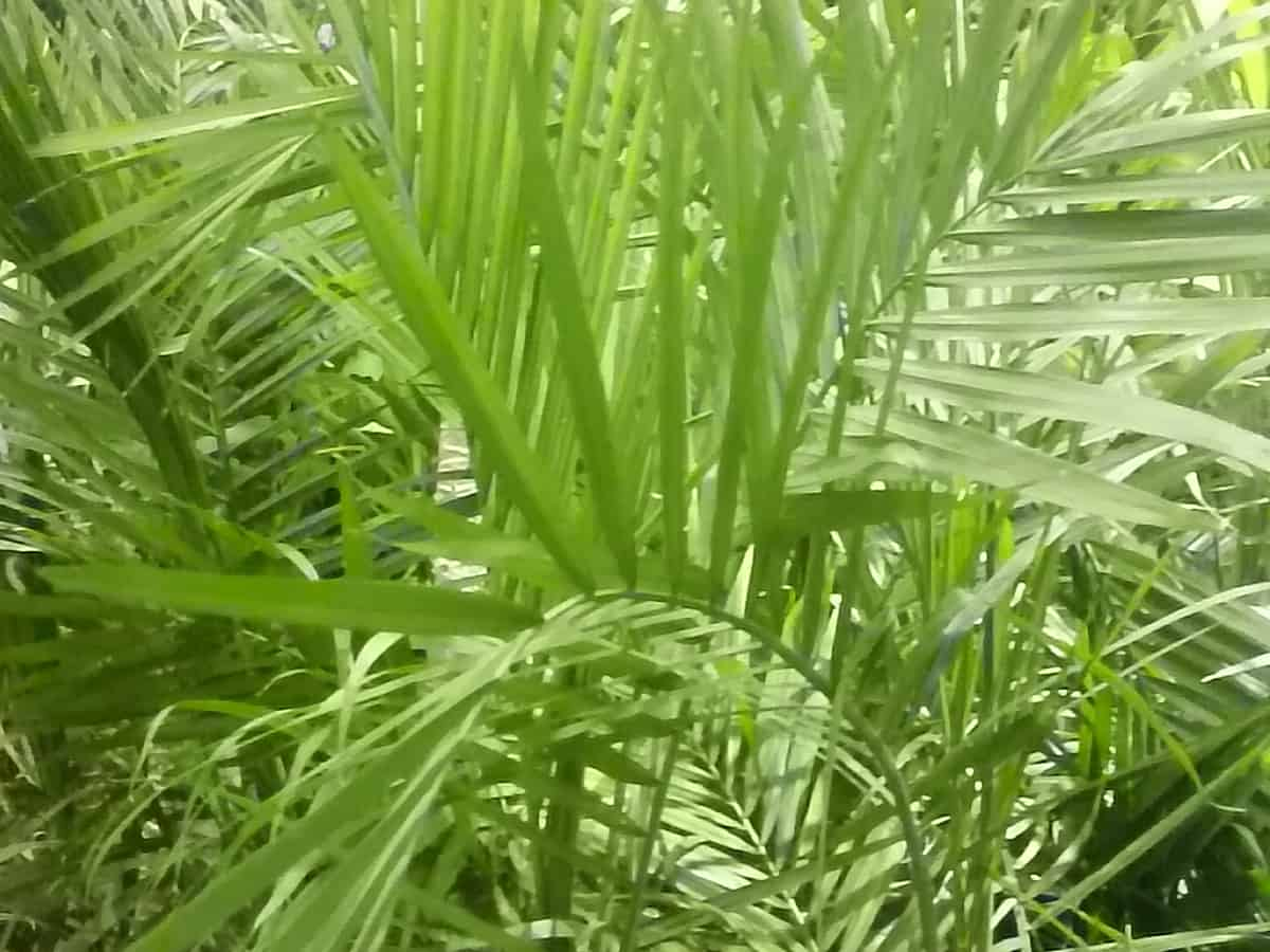 majesty palm has arching fronds