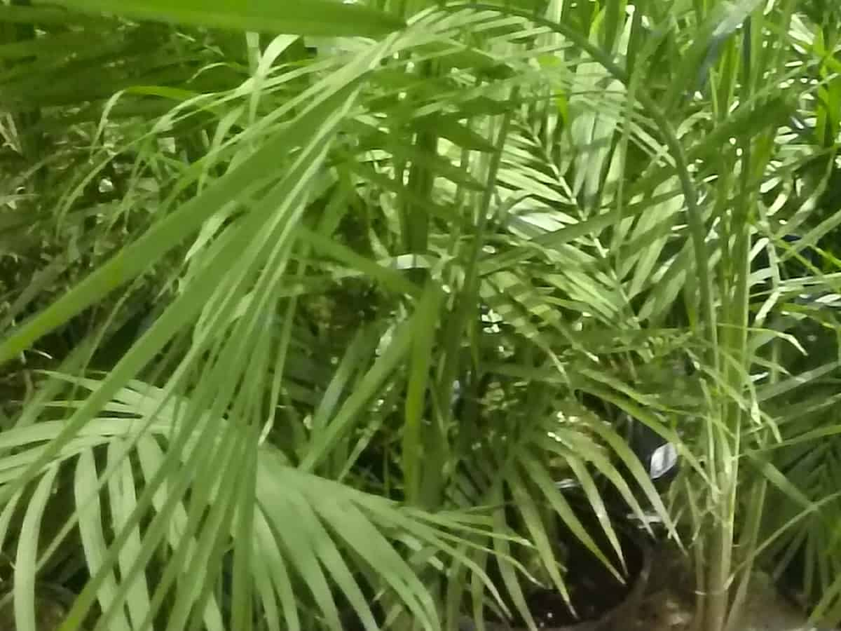 majesty palm is a beautiful indoor palm plant