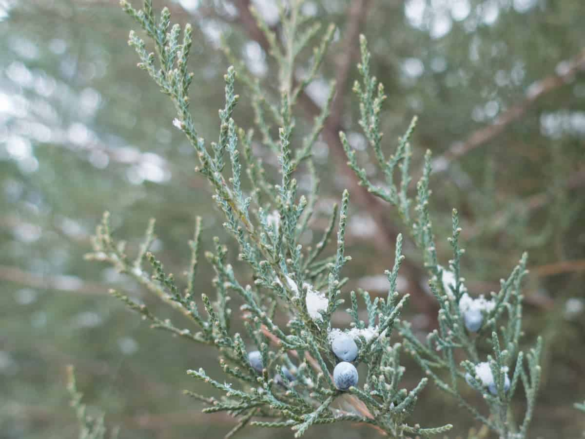 Maney juniper produces beautiful blue-green foliage and berries in all temperatures