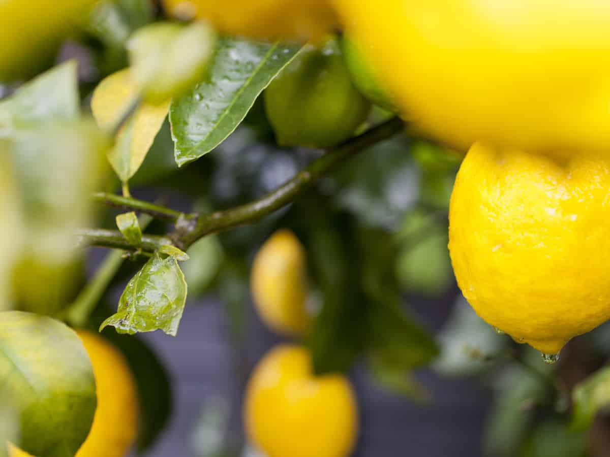 Meyer lemon is a dwarf citrus plant you can grow at home