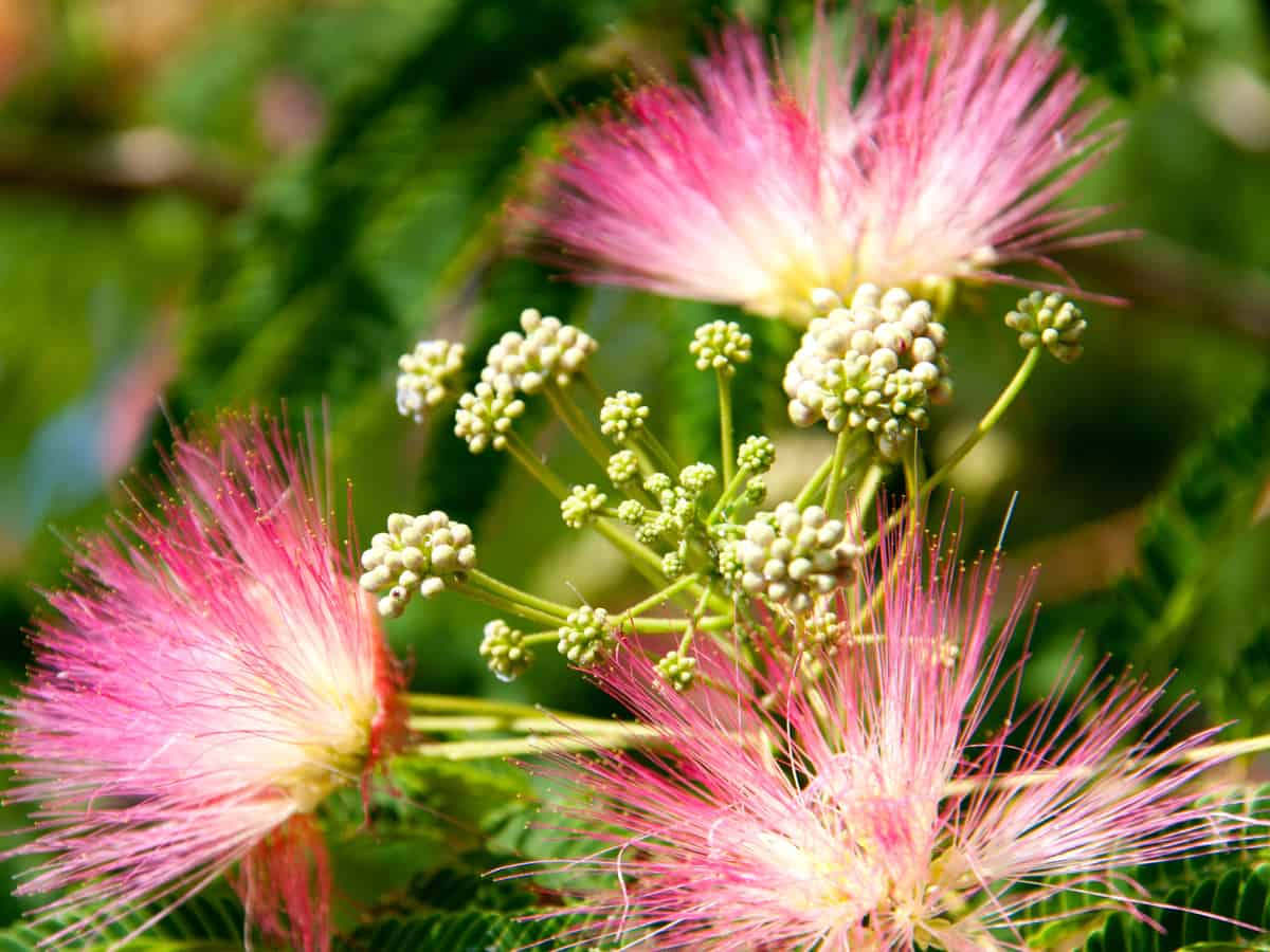 mimosa flowering trees are delightfully different