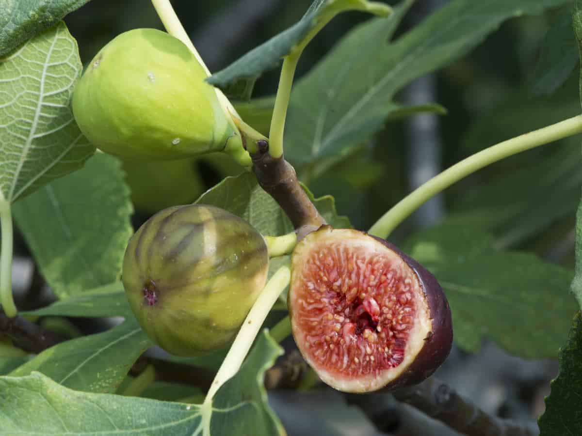 black mission fig is an heirloom dwarf fruit tree