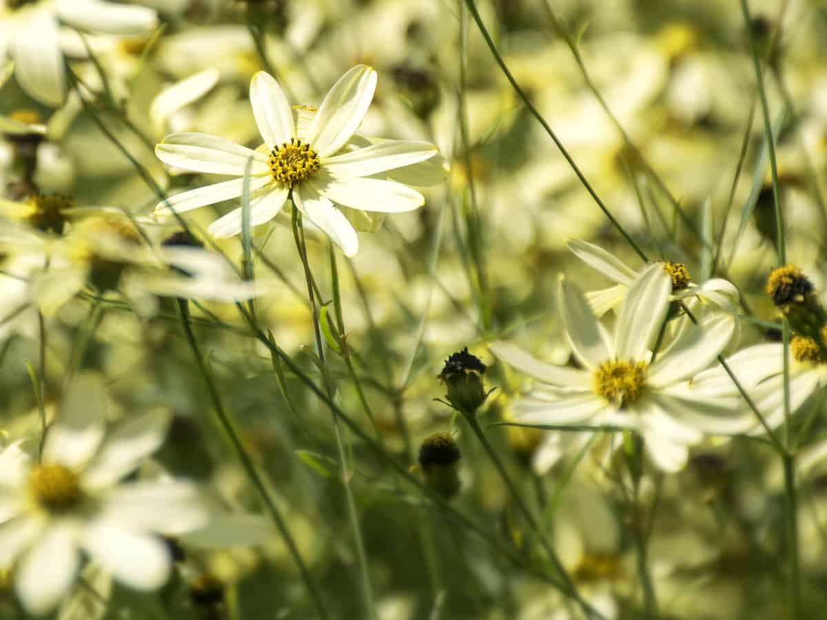 moonbeam coreopsis blooms from spring until fall