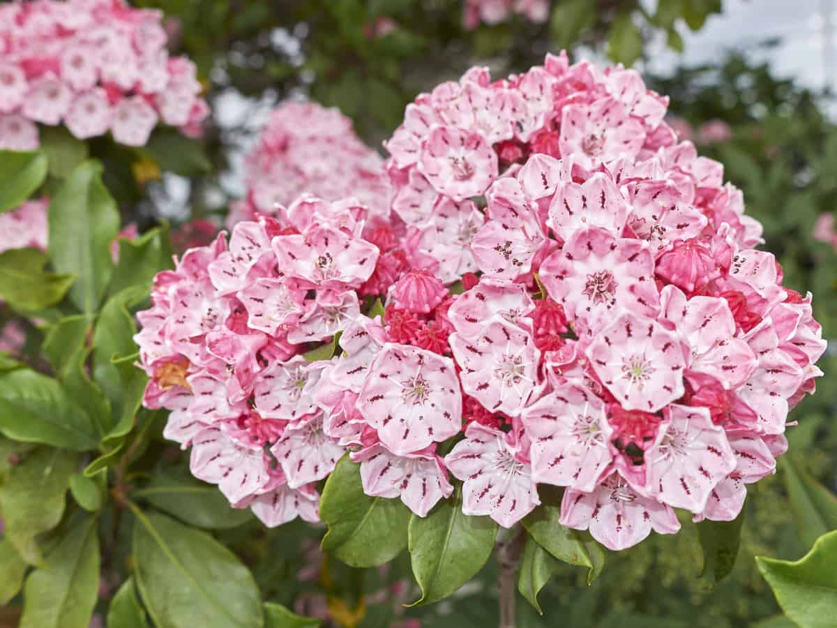 mountain laurel is a flowering evergreen shrub