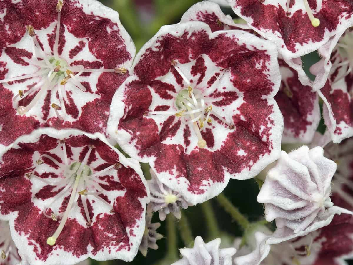the minuet mountain laurel is compact with showy flowers