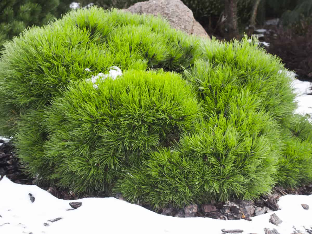 the mugo pine is a compact evergreen perfect for tiny gardens
