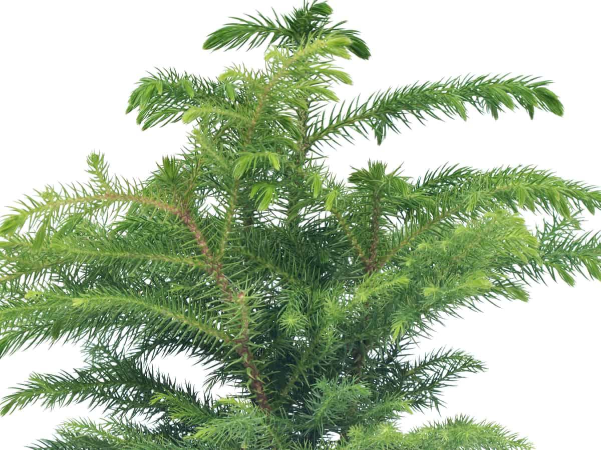 Norfolk island pine is a popular indoor Christmas tree