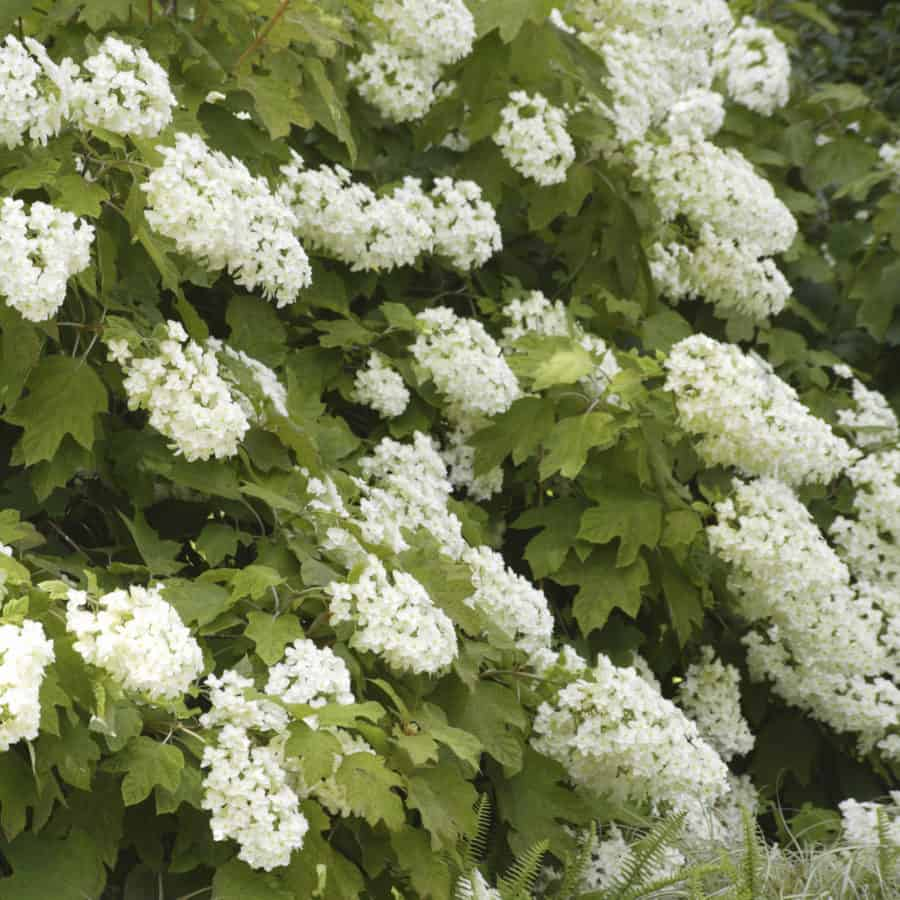 oakleaf hydrangea is a deciduous shrub