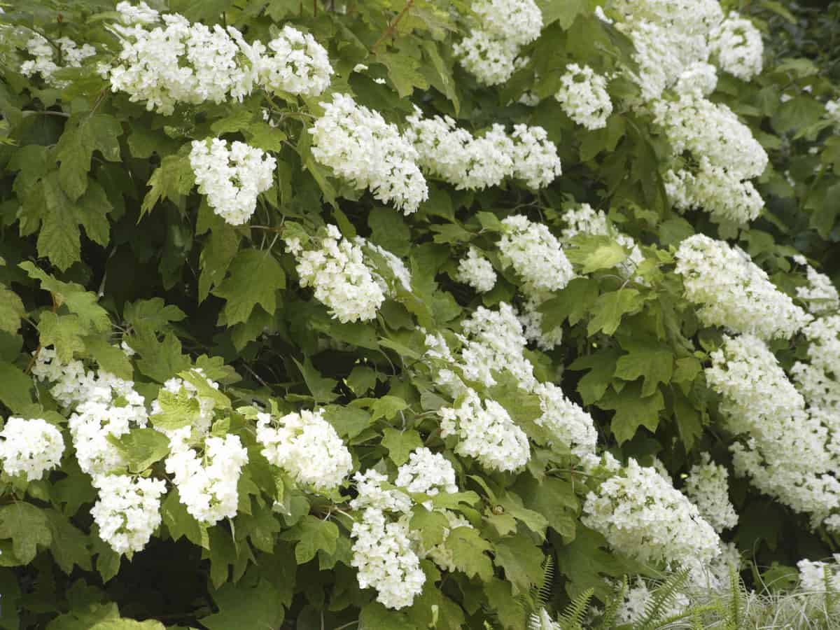 oakleaf hydrangea is a prolific bloomer