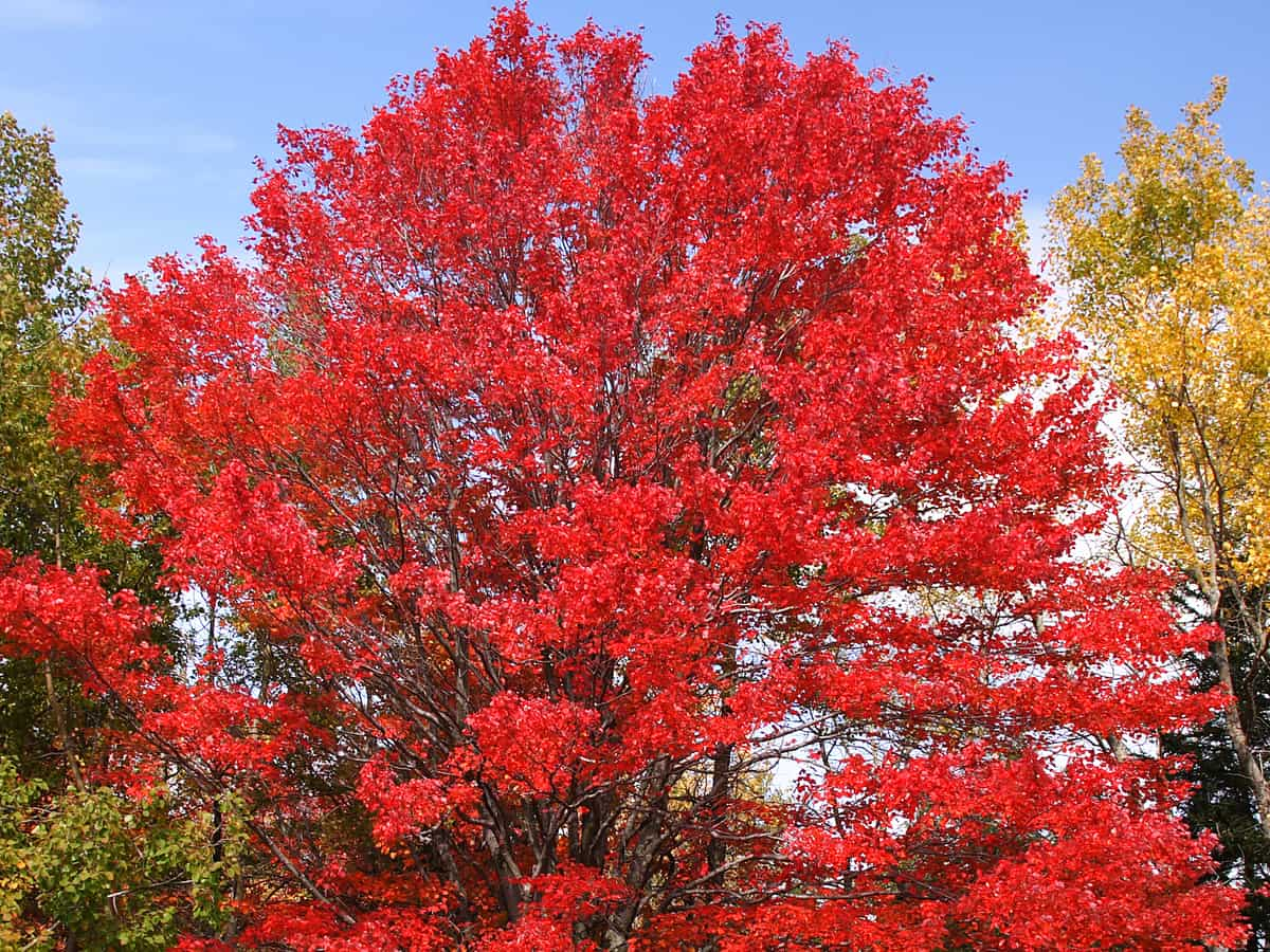 October glory maple is a shade tree with spectacular fall color