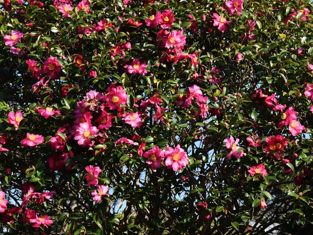 the October magic ruby camellia has vibrant leaves and flowers that provide color all year long