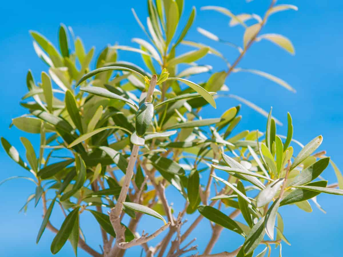 the olive tree is one of the few indoor trees that is nontoxic to cats