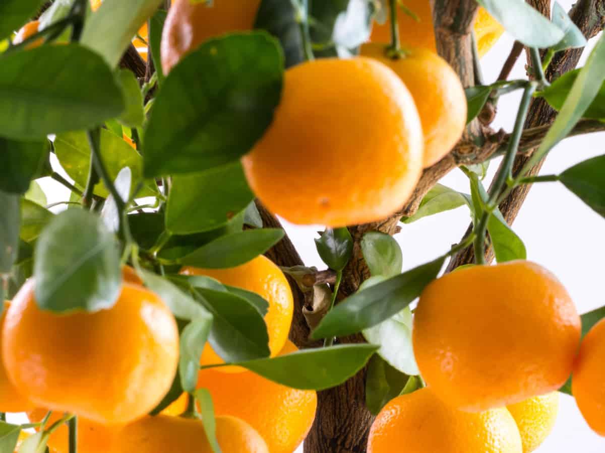 orange tree in a pot