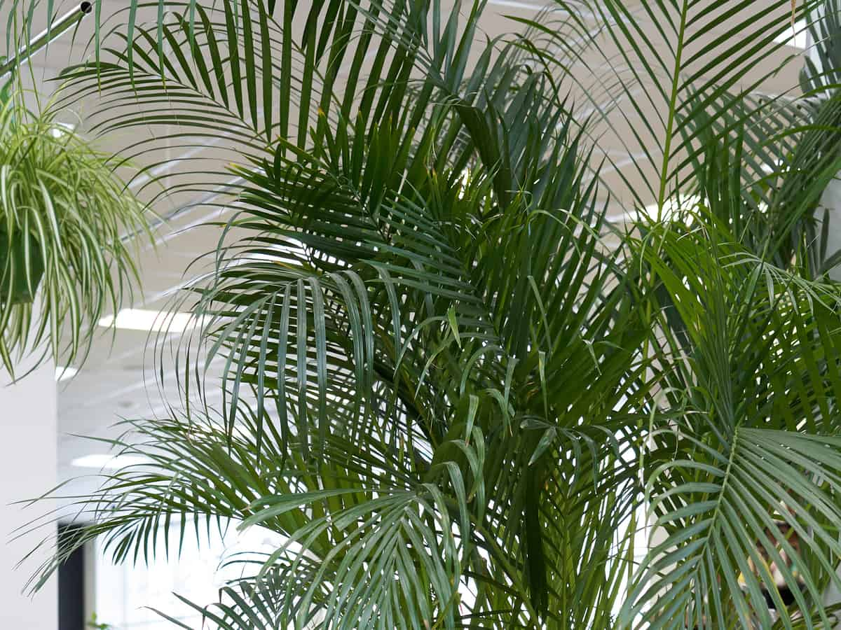 parlor palm is an indoor plant that is safe for cats