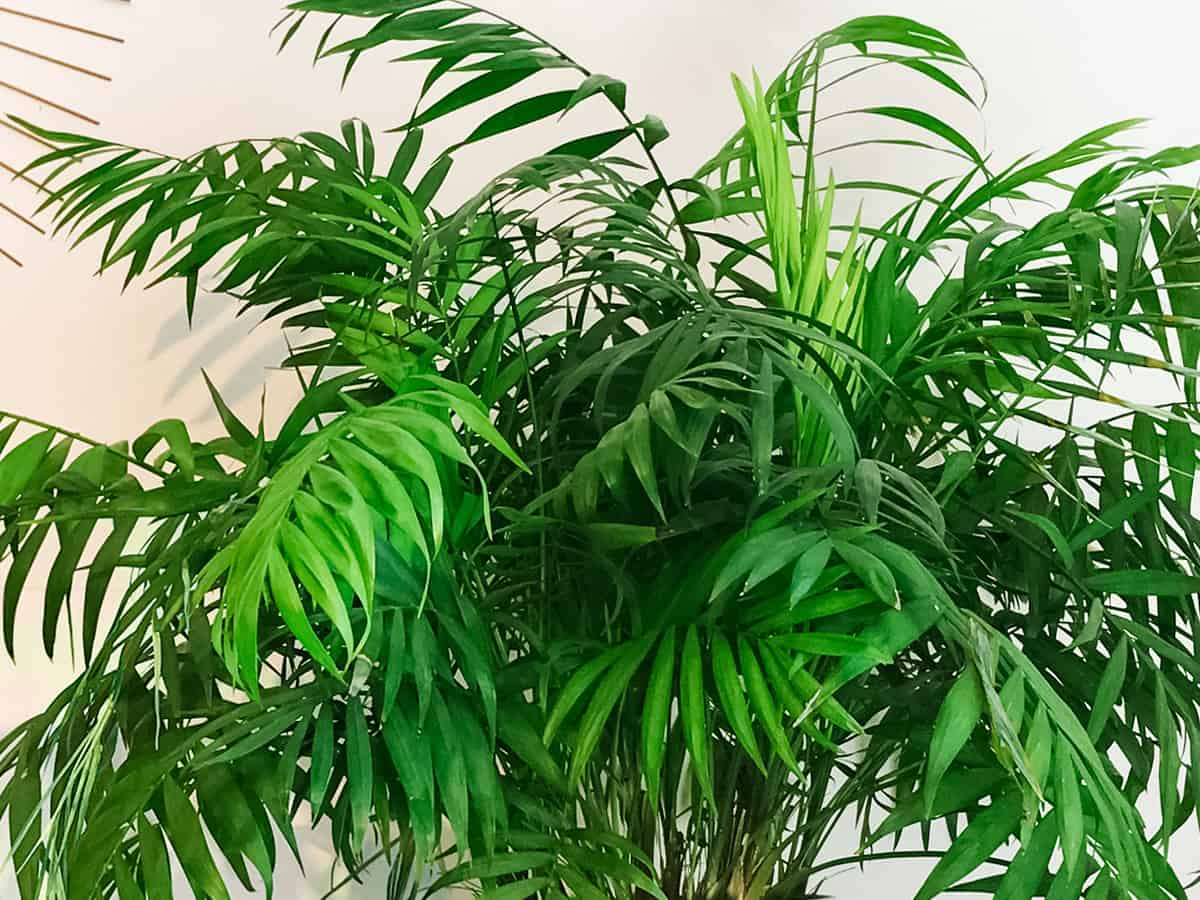 parlor palm grows well indoors