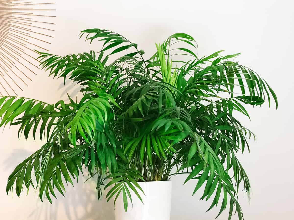 add a parlor palm to a room for extra ambiance