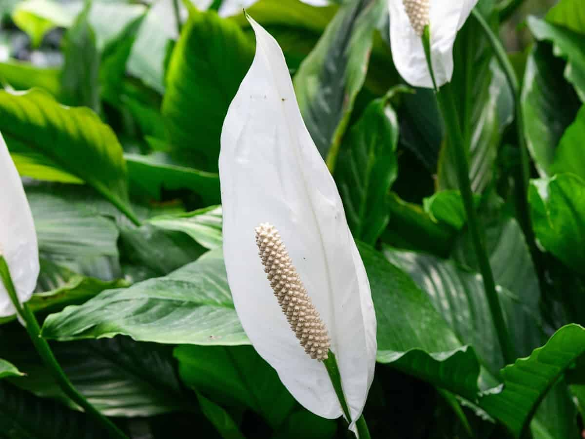 the peace lily is perfect for the non-gardener as it is easy-care