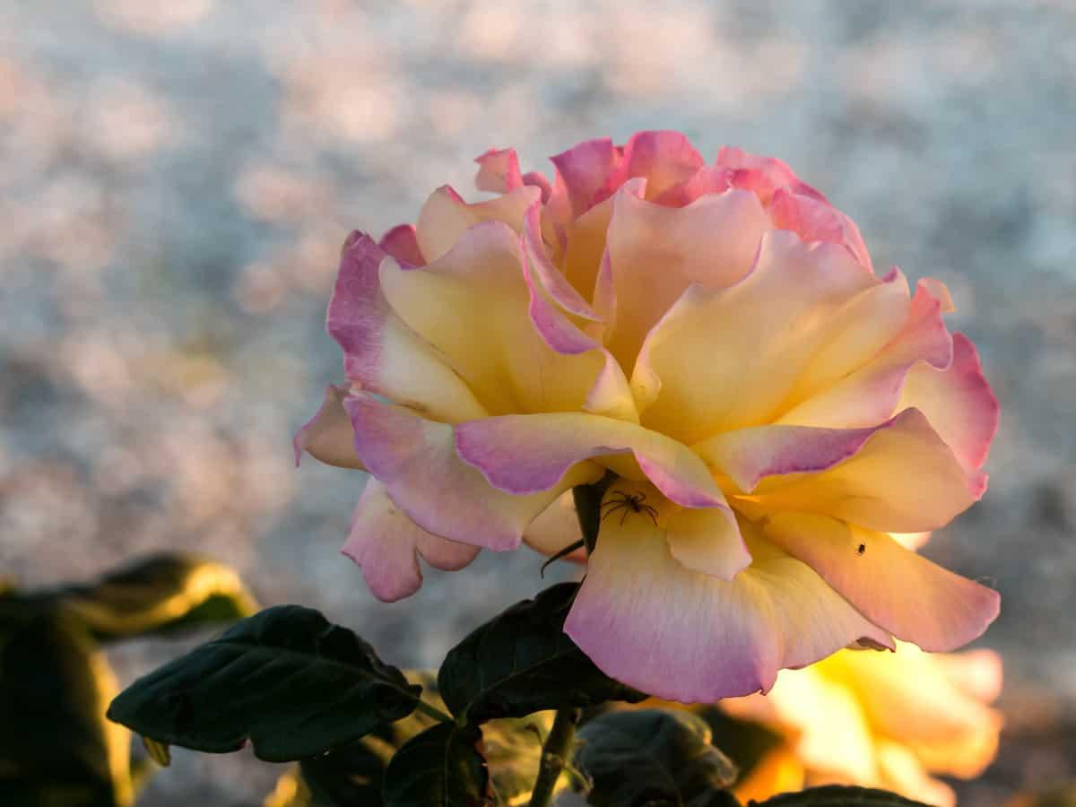 peach lemonade rose is a compact, low maintenance shrub