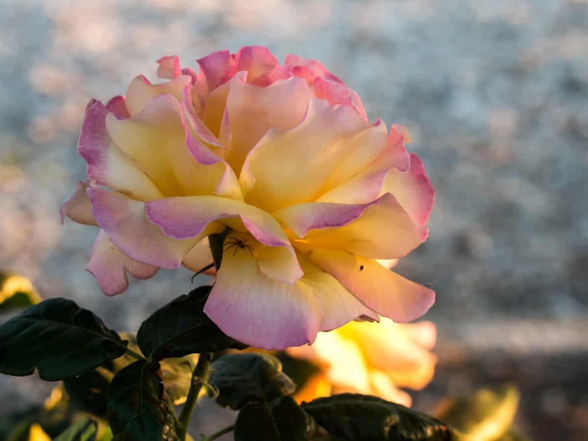 peach lemonade rose - a small flowering shrub for the yard