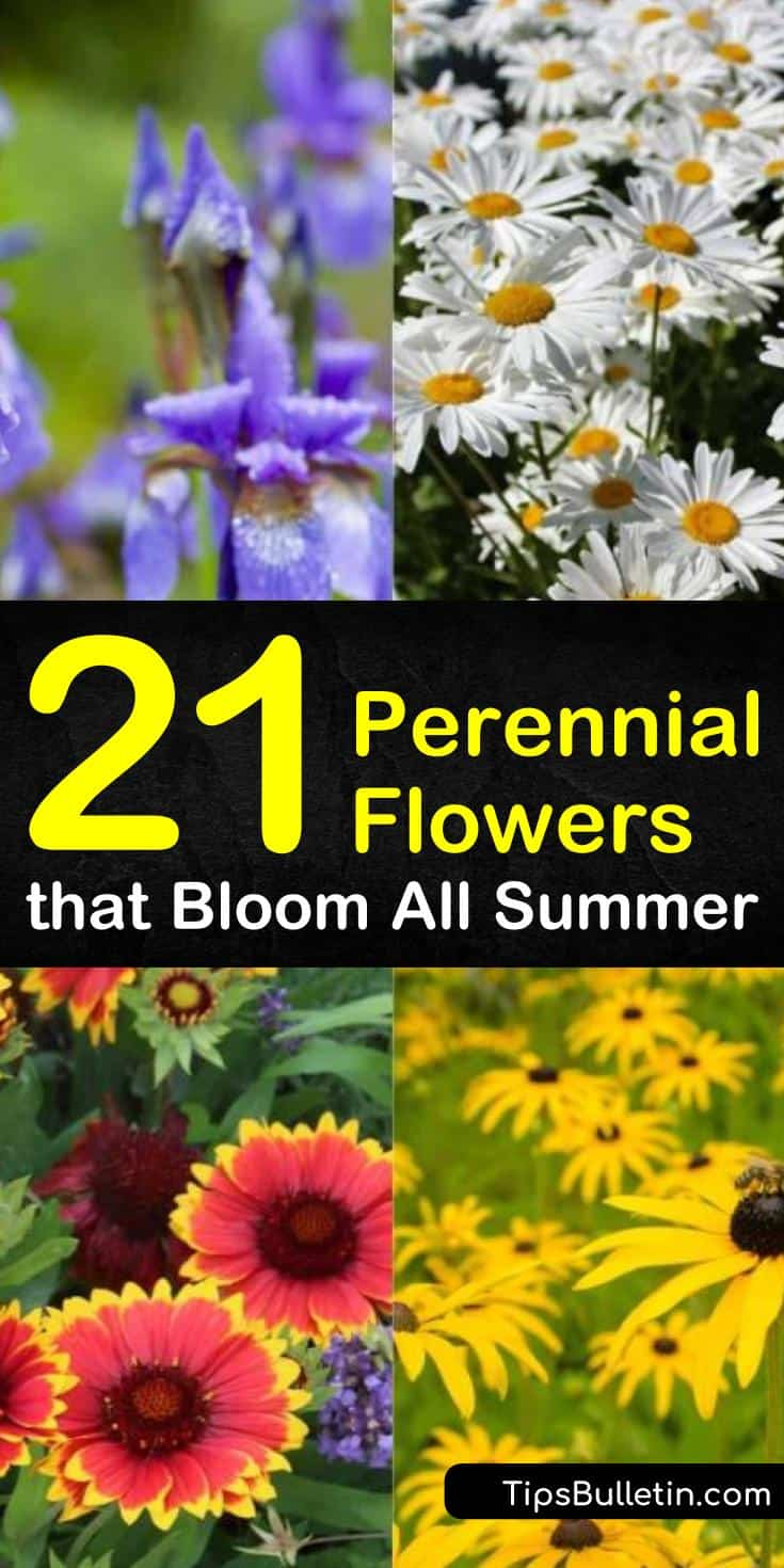 Discover 21 perennial flowers that bloom all summer. Many perennial flowers are low maintenance making them the perfect choice for various landscapes needing splashes of color. Lighting requirements range from full sun to shade and may affect blooming ability. #perennial #flowers