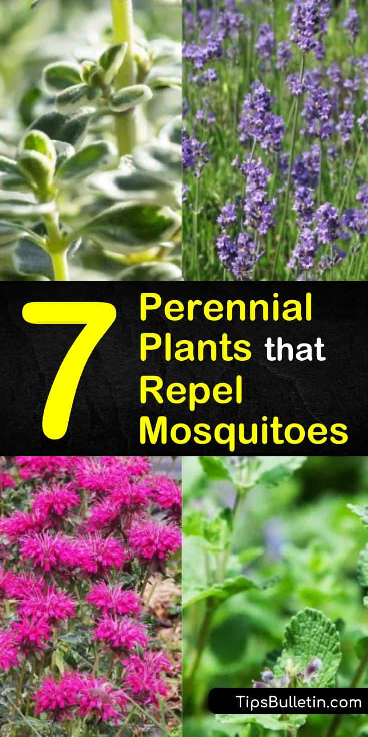 Keep mosquitoes away and make your garden beautiful! Our guide to perennial plants that repel mosquitoes will show you how to choose and plant the best perennials for keeping mosquitoes away from your garden and house. #perennials #diybugrepellent #bugrepellent #mosquitoes