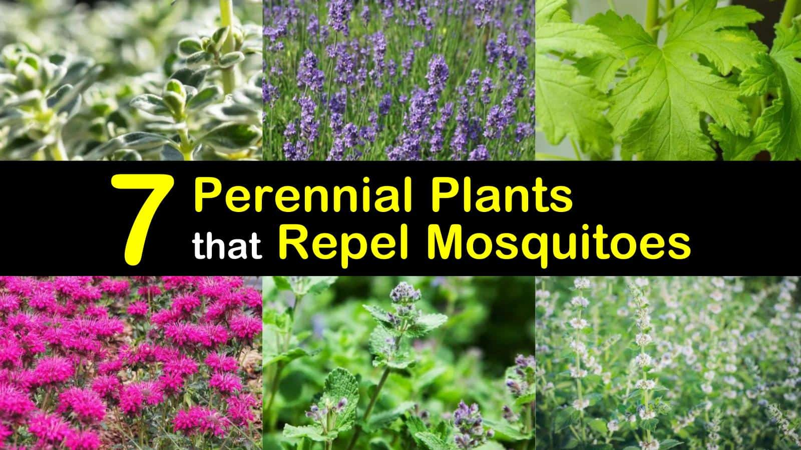 perennial plants that repel mosquitoes titleimg1