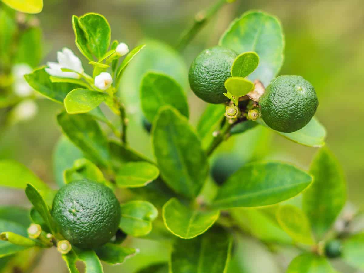 Persian lime dwarf citrus tree
