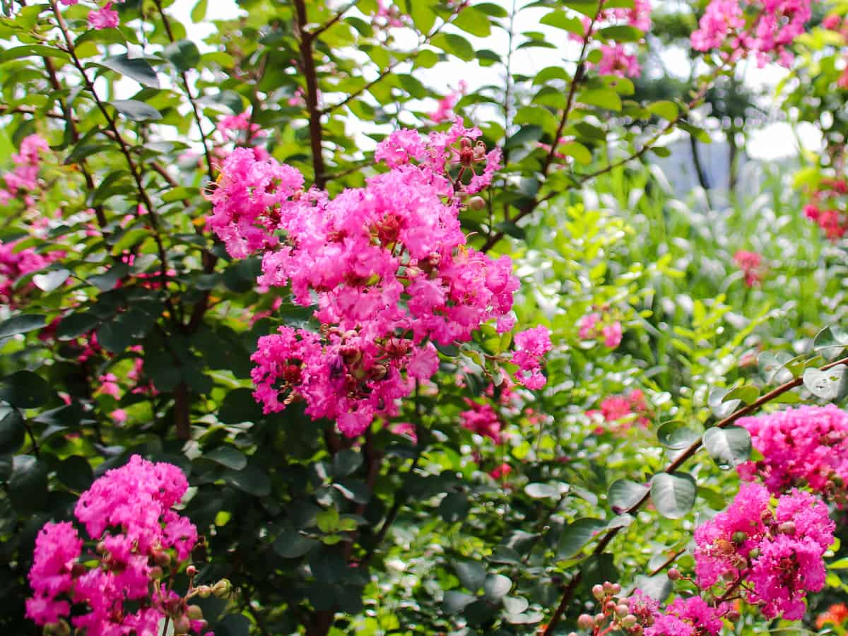 petite pinkie crape myrtle adds a splash of color to the landscape