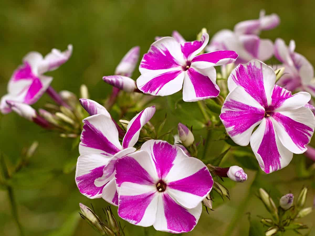 garden phlox comes in many varieties and colors