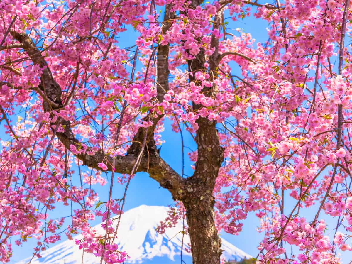 pink weeping cherry tree grows quickly