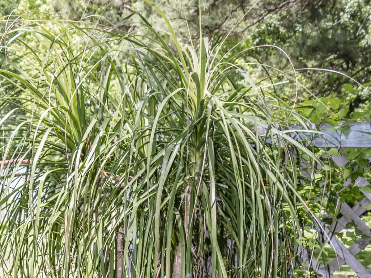 ponytail palm is a slow grower