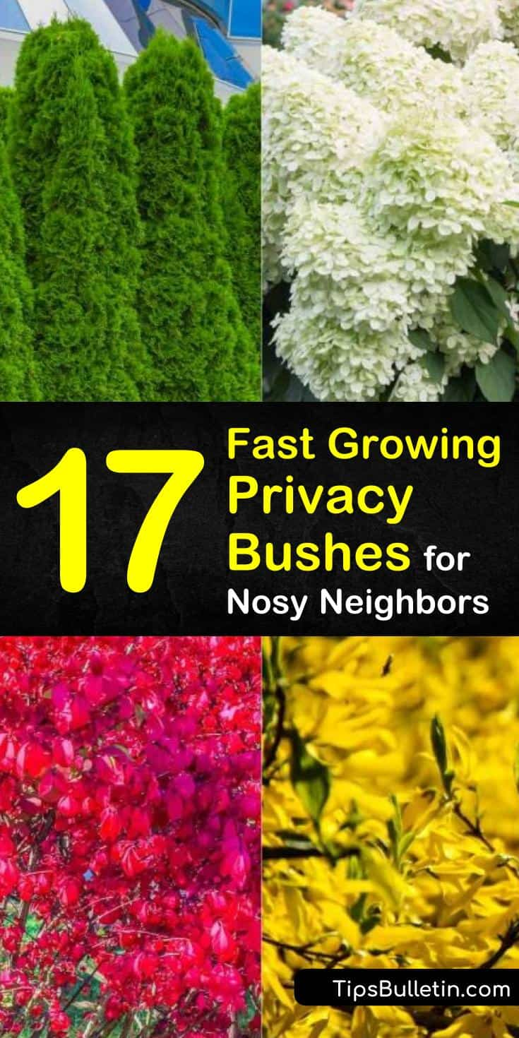 Discover 17 privacy bushes and shrubs that are perfect for screening your backyard, front yards, patio, and driveways. Find out which plants are suitable along fence lines and which are fast growing to experience peace and serenity of a secluded residence. #hedges #bushes #privacy #nosyneighbors