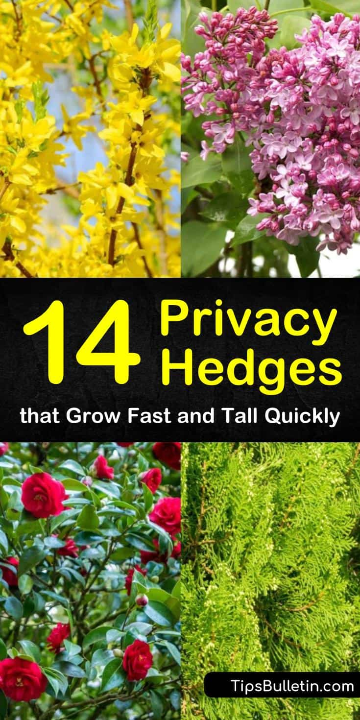 Learn about low-maintenance, drought-tolerant evergreen privacy hedges with our tips and tricks. Find out what fast-growing, tall trees you can use in your backyard and your front yard. #privacy #hedge #garden