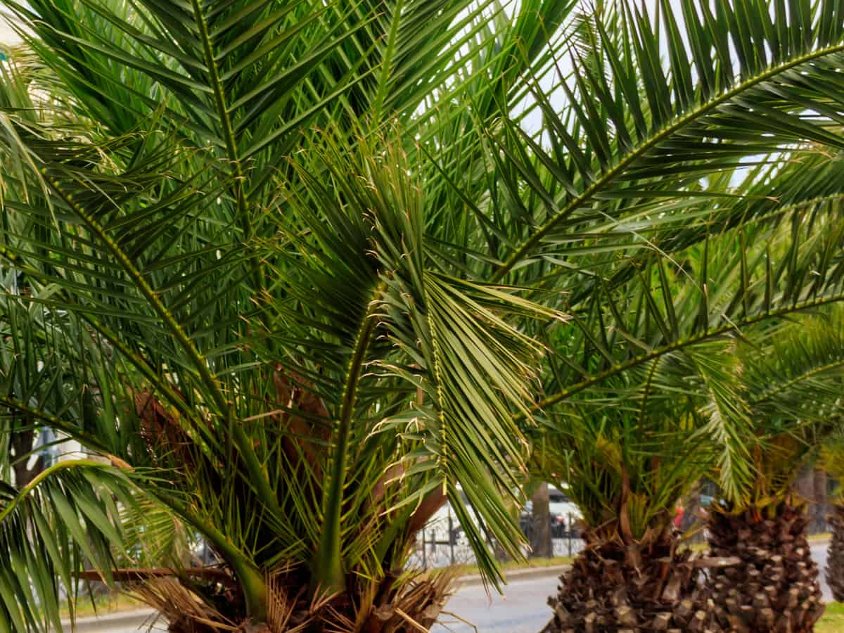 pygmy date palm can grow in a big pot
