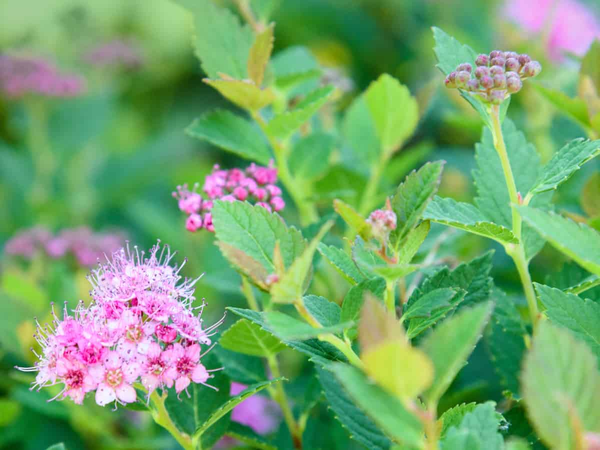 rainbow fizz spirea is a lovely small flowering shrub