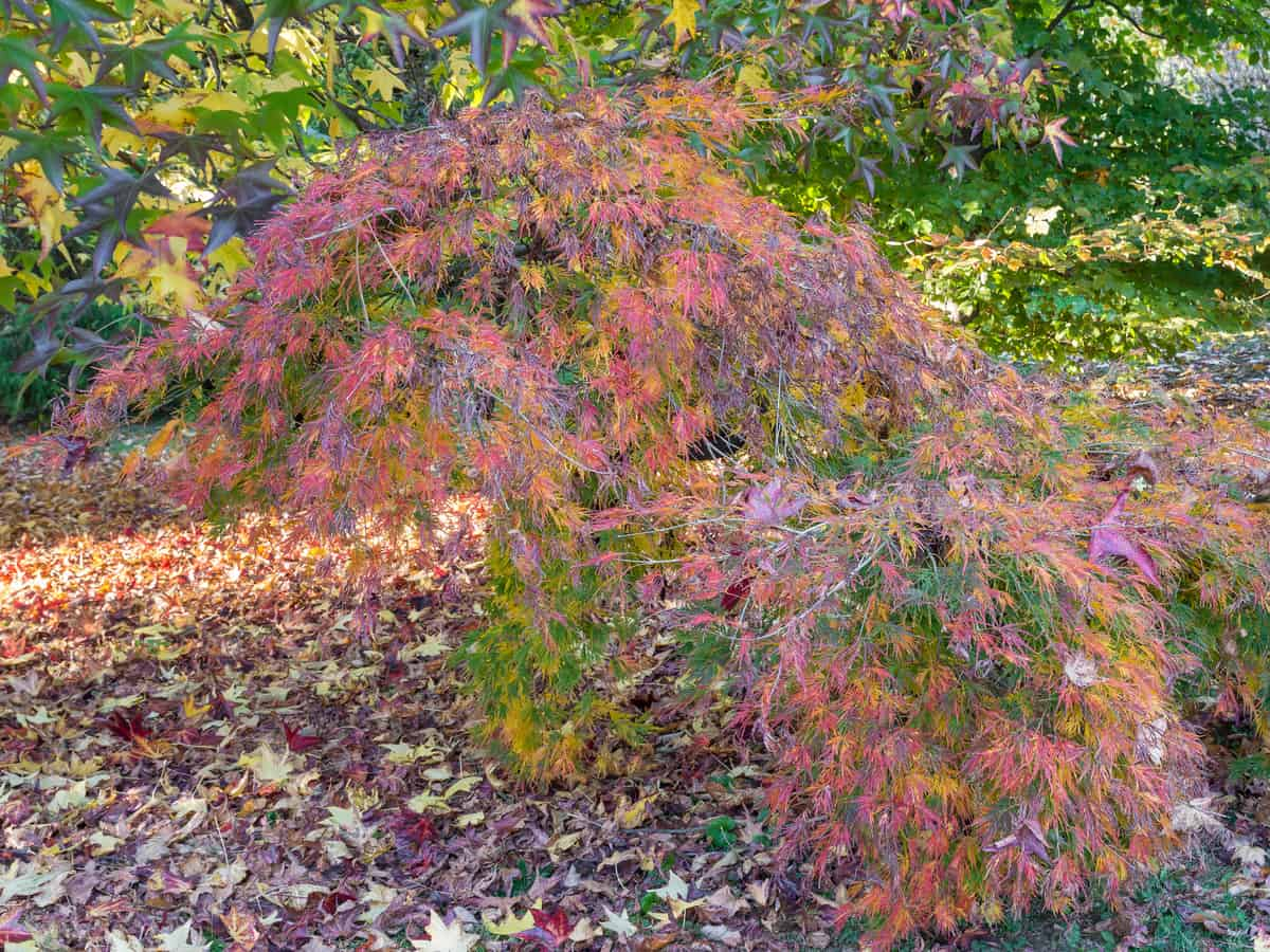 red dragon Japanese maple looks beautiful in all seasons